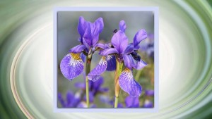 Iris-original