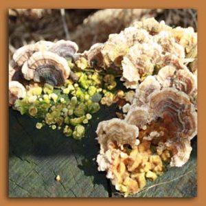 herbst-baumpilze
